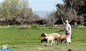 Tiznit : Des mesures pour une meilleure gestion de l'activité pastorale dans le respect des propriétés privées de la population locale