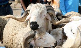 Élevage: Salon national de la race Sardi du 21 au 24 mars à Settat